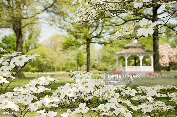 blooming dogwood tree in spring park - philadelphia pennsylvania stock pictures, royalty-free photos & images