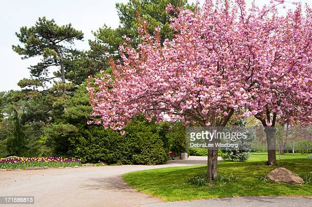 Blooming Double Almond Tree