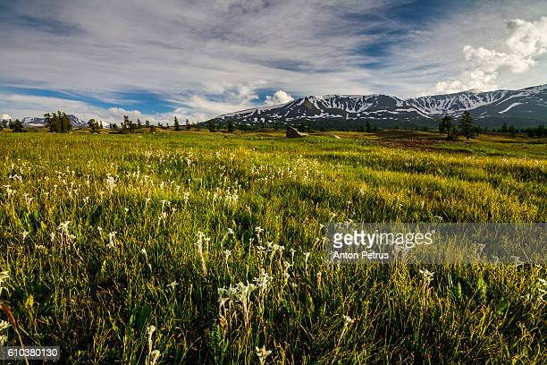 Blooming edelweiss in the mountains