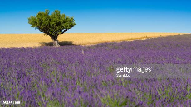 blooming fields of lavender on the valensole plateau in the provence in southern france. - ヴァレンソール高原 ストックフォトと画像