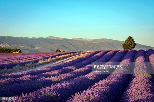 blooming fields of lavender - provence alpes cote d'azur stock pictures, royalty-free photos & images