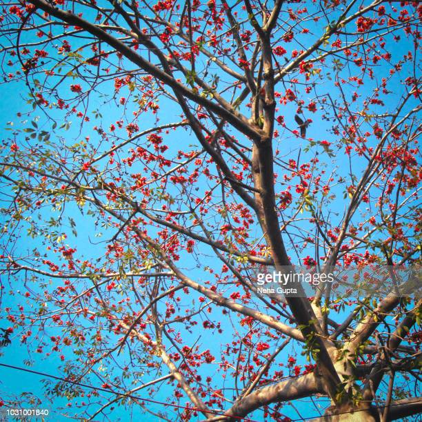 blooming flame of the forest tree (also known as bastard teak or parrot tree) against the blue sky - neha gupta stock pictures, royalty-free photos & images