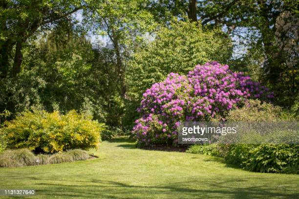 blooming flowering tree in local park. - formal garden stock pictures, royalty-free photos & images
