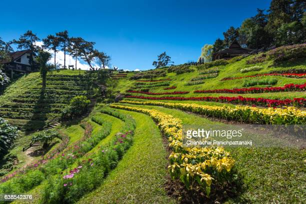 blooming flowers field from huay nam dung in chiang mai, thailand - terraced field stock pictures, royalty-free photos & images