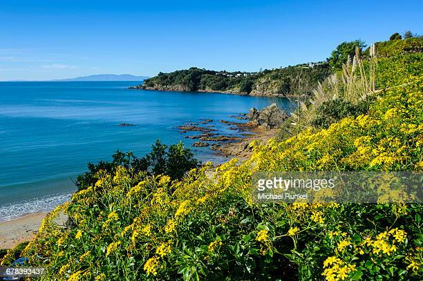 Blooming flowers over Oneroa beach, Waiheke Island, Hauraka Gulf, North Island, New Zealand, Pacific