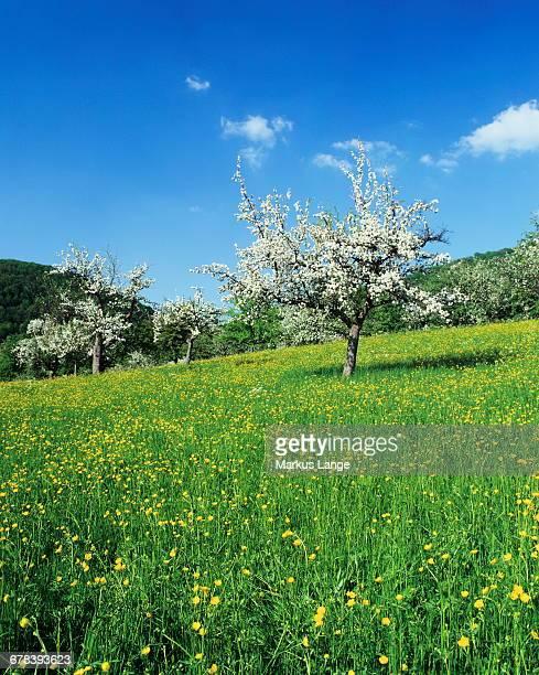 blooming fruit trees on a flower meadow, lenninger tal, swabian alb, baden wurttemberg, germany, europe - fruitboom stockfoto's en -beelden