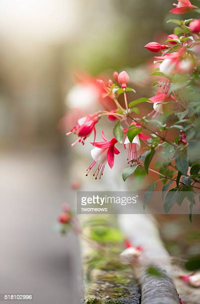 Blooming Fuchsia in flower bed. Side angle.