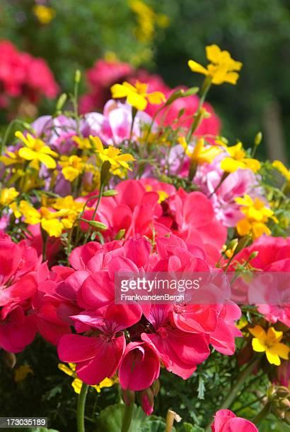 Blühende geraniums