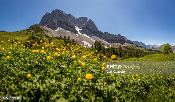 blooming globeflowers, lamsenspitze and schafkarspitze - karwendel mountains stock pictures, royalty-free photos & images