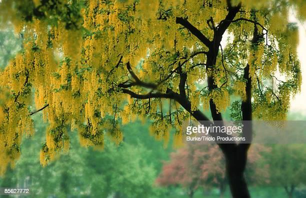 Blooming goldenchain tree