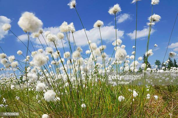 Blooming Hare's-tail Cottongrass, Tussock Cottongrass or Sheathed Cottonsedge -Eriophorum vaginatum- against a blue sky with white clouds, Inntal, Voralpenland, Raubling, Upper Bavaria, Bavaria, Germany