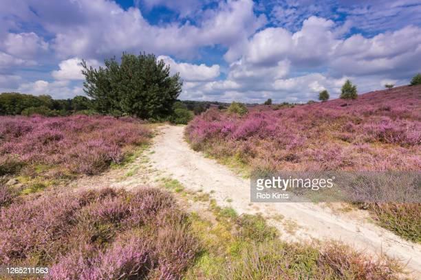 blooming heather on the posbank near arnhem, the netherlands - arnhem stockfoto's en -beelden