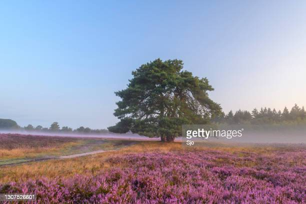 "blooming heather plants in heathland landscape during sunrise in summer - ""sjoerd van der wal"" or ""sjo"" stock pictures, royalty-free photos & images"