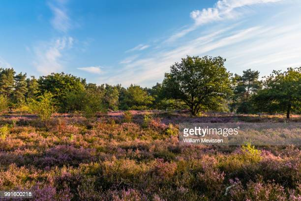 blooming heather sunrise - william mevissen stock pictures, royalty-free photos & images