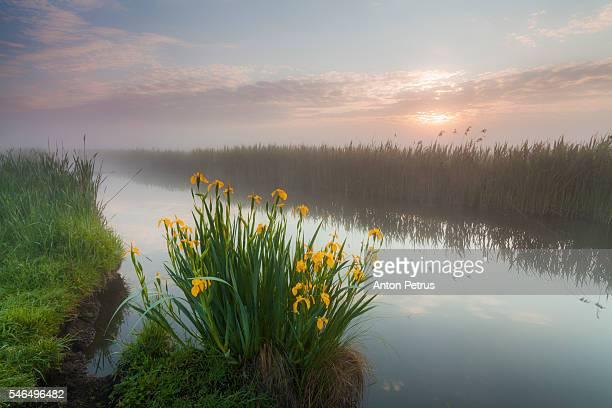 Blooming iris near the river at dawn