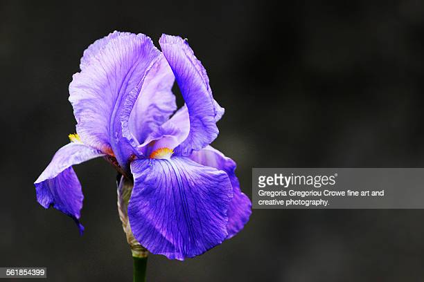 blooming iris - gregoria gregoriou crowe fine art and creative photography. stock photos and pictures