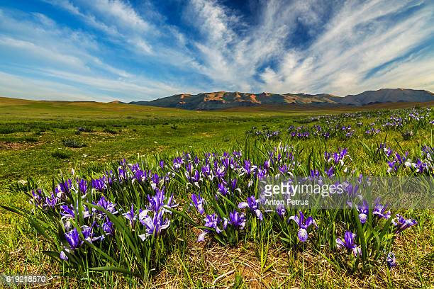 Blooming irises in the mountains