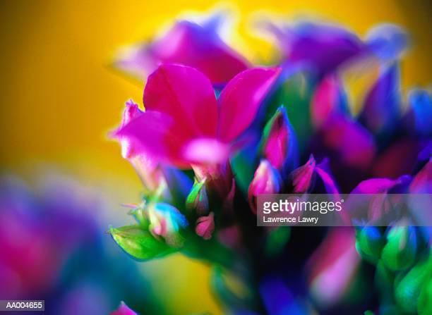 Blooming Kalanchoe Flowers