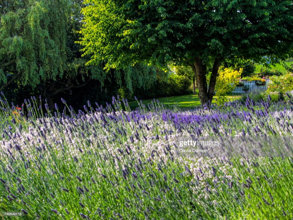 Blooming Lavender With Trees In Background Sequim Clallam County