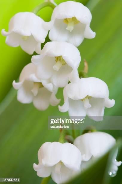 Éclosion d'une fleur de lys de la vallée