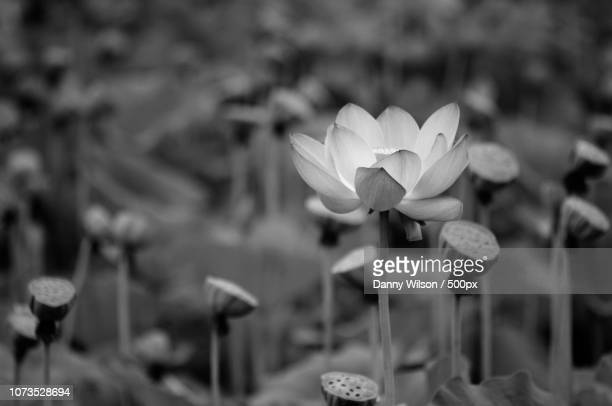 blooming lily pads - lily wilson stock pictures, royalty-free photos & images