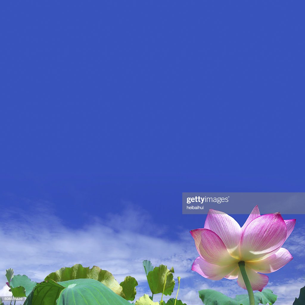 Blooming lotus flower under blue sky : Stockfoto