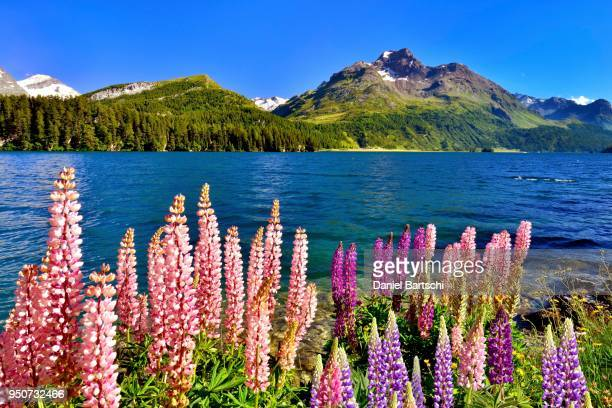 blooming lupines (lupinus) at lake sils with piz da la margna, engadin, canton of grisons, switzerland - naturwunder stock-fotos und bilder
