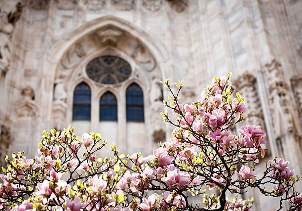 """Blooming Magnolia Against Duomo Window, Milan Italy"""
