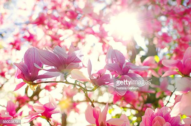 Blooming magnolia flowers in spring