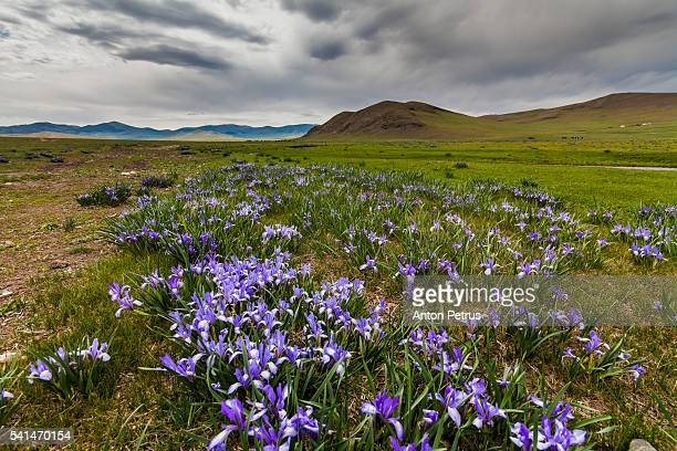 blooming meadow in the mountains - anton petrus stock pictures, royalty-free photos & images