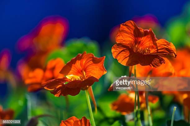 Blooming nasturtium