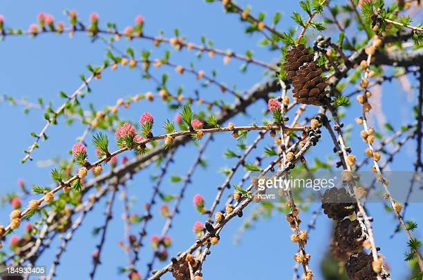 blooming of european larch tree in springtime - larch tree stock pictures, royalty-free photos & images
