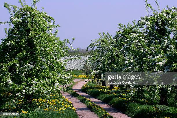 Blooming pear trees (Pyrus communis) and cherry trees (Prunus avium) in the background - Altes Land, Hamburg, Lower Saxony, Germany, Europe