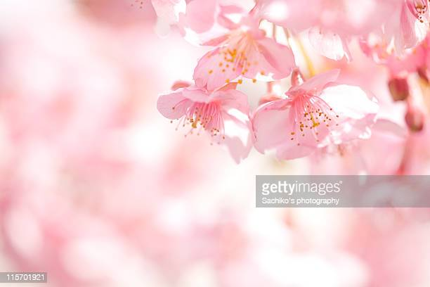 blooming - cherry tree stock photos and pictures