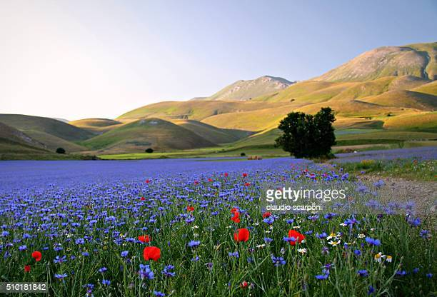 blooming - castelluccio stock photos and pictures