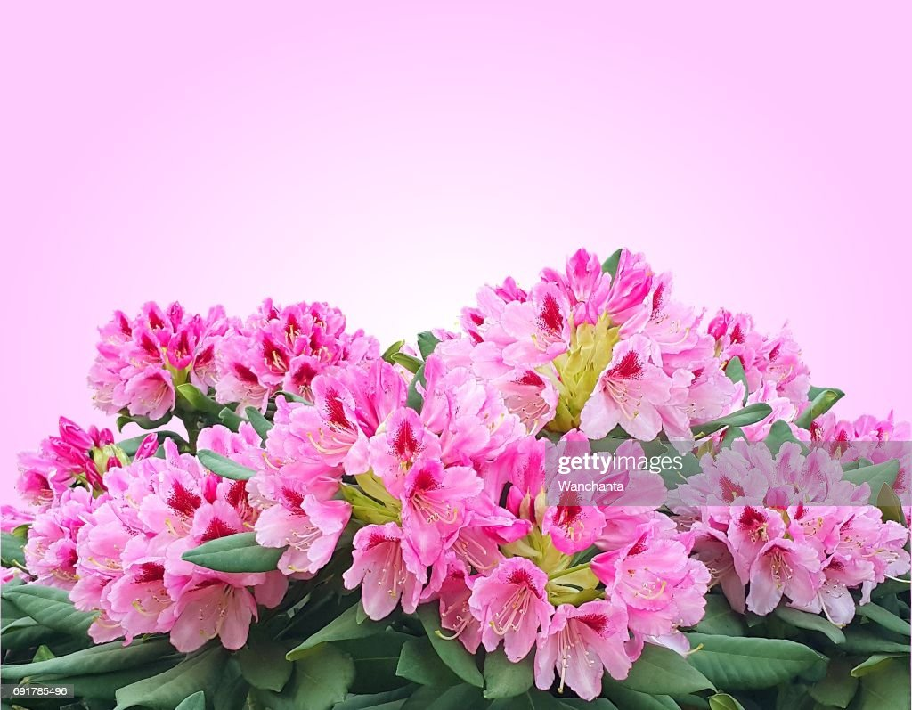 Blooming Pink Azalea Or Rhododendron Flowers Isolated On Pink