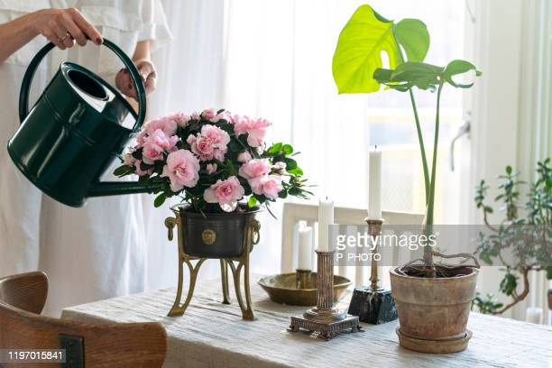 blooming pink azalea - azalea stock pictures, royalty-free photos & images