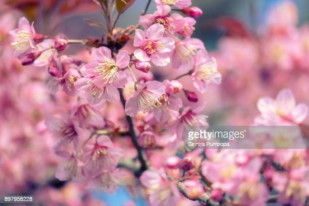 Blooming pink cherry blossoms flower in spring outdoors with soft focus background