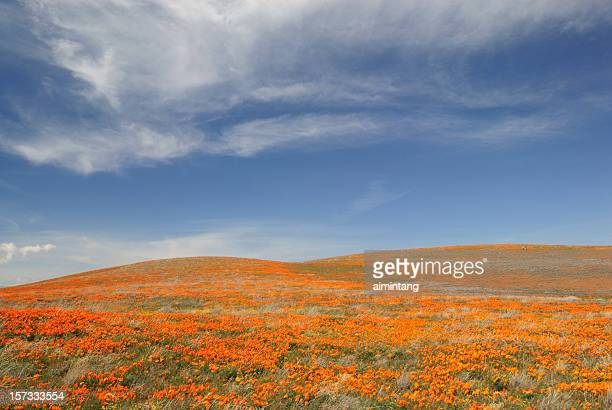 blooming poppies - california golden poppy stock pictures, royalty-free photos & images