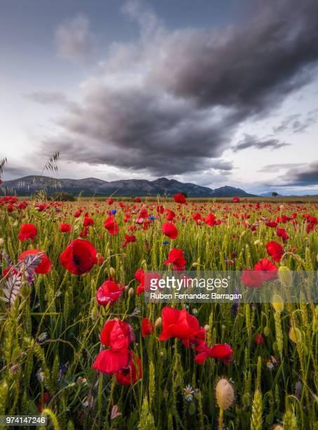 blooming poppy field, palencia, castile and leon, spain - castilla y león bildbanksfoton och bilder