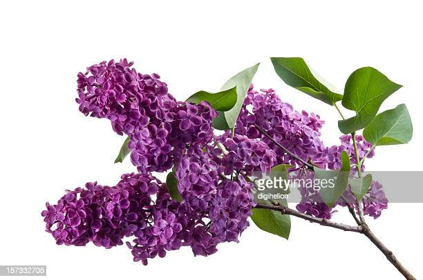 Blooming purple lilac flower on white background