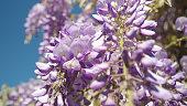 CLOSEUP DOF: Blooming purple wisteria flowers swaying in spring wind