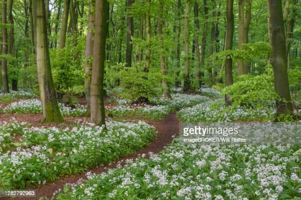 blooming ramsons ( allium ursinum) im beech forest, weg, teutoburg forest, hilter, north rhine-westphalia, germany - weg fotografías e imágenes de stock