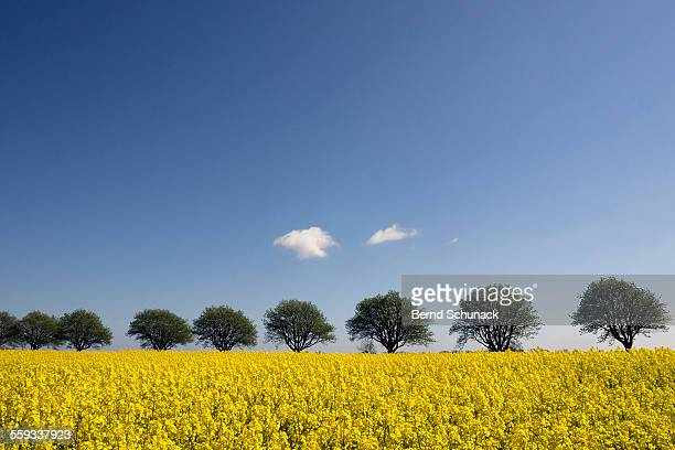 blooming rape field and a row of trees - bernd schunack fotografías e imágenes de stock