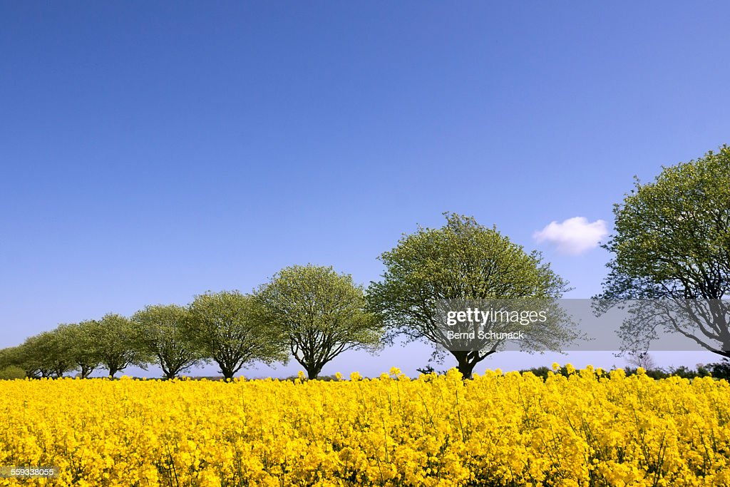 Blooming Rape Field And A Row Of Trees : Stock-Foto