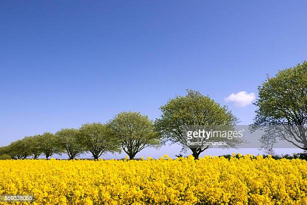 blooming rape field and a row of trees - fehmarn stock-fotos und bilder
