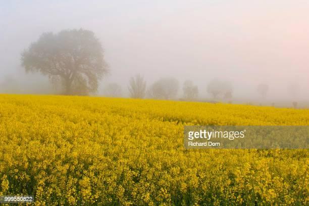 Blooming rapeseed field in front of trees in fog at dawn, Rhine, Lower Rhine, North Rhine-Westphalia, Germany