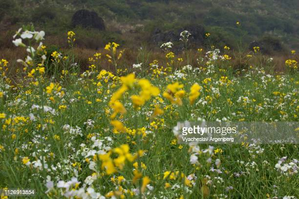 blooming rapeseed flowers in yangshuo countryside, guangxi - argenberg stock pictures, royalty-free photos & images