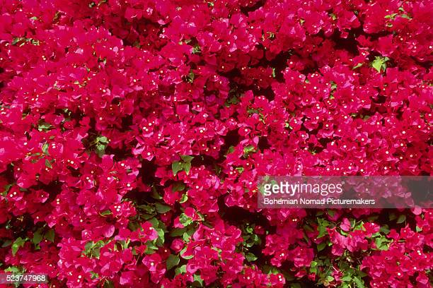 Blooming Red Bougainvilleas