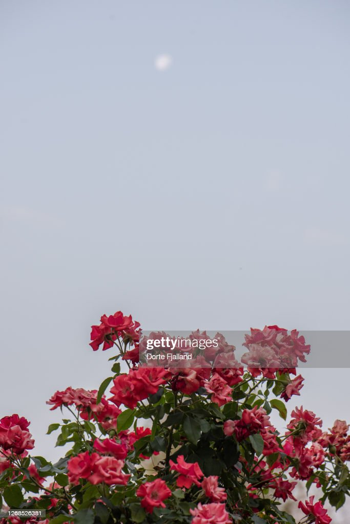 Blooming red roses with a pale blue sky and a blurred moon high above : Foto de stock